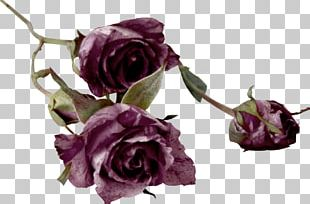 Garden Roses Cut Flowers Centifolia Roses Color PNG