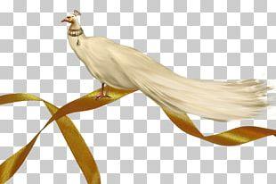 Asiatic Peafowl Bird PNG