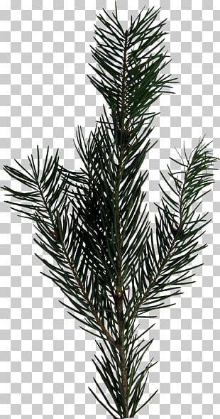 Evergreen Fir PNG