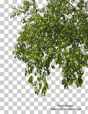 Tree Branch Birch PNG