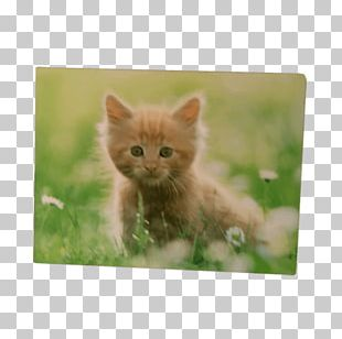Kitten Whiskers Tabby Cat Domestic Short-haired Cat Maine Coon PNG