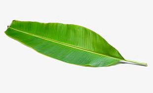 Tender Green Banana Leaves PNG