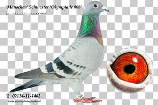 Racing Homer Columbidae Homing Pigeon Pigeon Racing Breed PNG