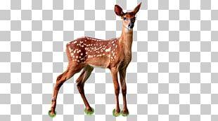 Deer Hunter White-tailed Deer Red Deer Animal PNG