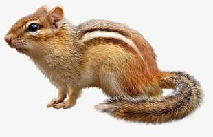 Cute Little Squirrel PNG