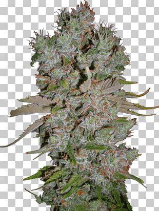 Marijuana Autoflowering Cannabis Blueberry Cannabis Ruderalis PNG