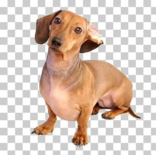 Dachshund German Pinscher Puppy Dog Breed Android PNG