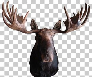Moose Deer Elk Antler Pronghorn PNG