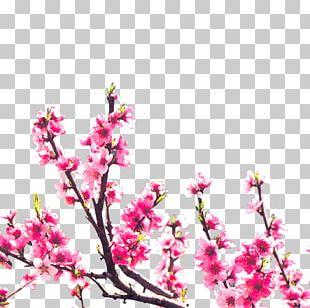 Floral Design Blossom Peach PNG