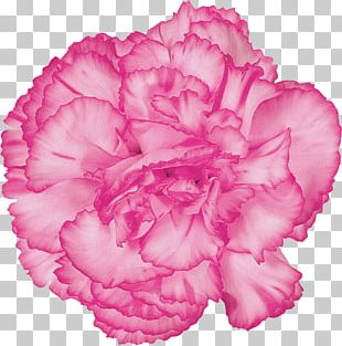 Carnation Cut Flowers Purple Red PNG