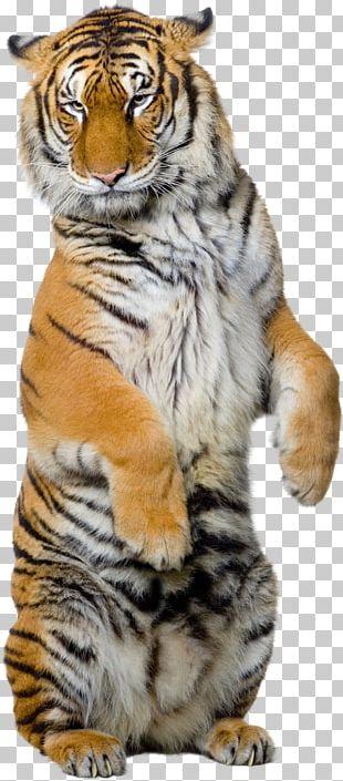 Siberian Tiger Sumatran Tiger Bengal Tiger White Tiger Illustration PNG
