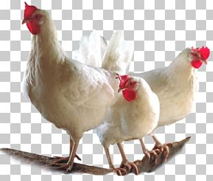 Broiler Chicken Bird Poultry Farming PNG