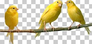 Domestic Canary Bird Parrot Yellow Canary Finches PNG