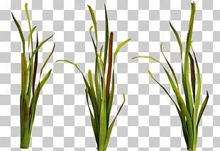 Seaweed Aquatic Plants Underwater Ocean PNG