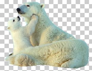 Baby Polar Bear Giant Panda Animal PNG