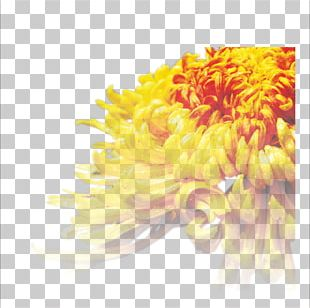 Chrysanthemum Tea Cut Flowers Transvaal Daisy PNG