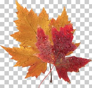 Japanese Maple Red Maple Silver Maple Autumn Leaf Color PNG