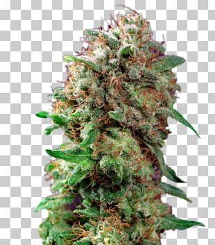 Autoflowering Cannabis Seed Bank White Widow Skunk PNG