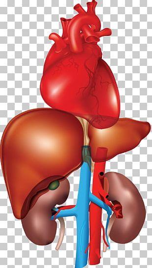 Organ Kidney Fatty Liver Heart PNG