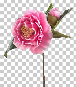 Cabbage Rose Garden Roses Яндекс.Фотки Cut Flowers PNG