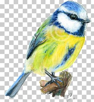 Drawing Birds Tit Watercolor Painting PNG