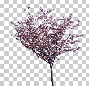 Flowering Dogwood Cherry Blossom Tree PNG