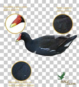 Duck Common Moorhen Bird Feather Beak PNG