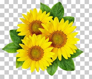 Common Sunflower Cartoon Sunflower Seed PNG