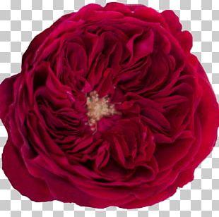 Garden Roses Cabbage Rose Rose Garden Floribunda PNG