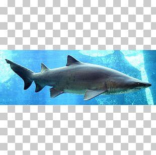 Shark Fin Soup Sand Tiger Shark Dorsal Fin PNG