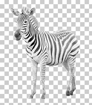 Zebra Horse Photography PNG