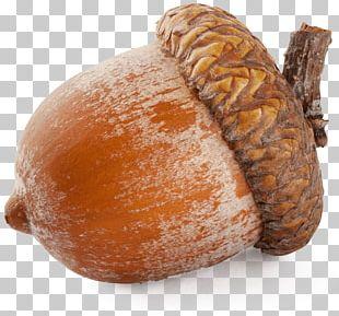 Acorn Oak PNG