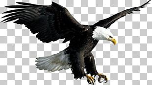 Bald Eagle Flight Bird PNG
