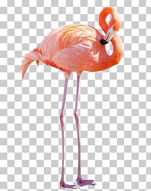 Greater Flamingo American Flamingo Stock Photography PNG