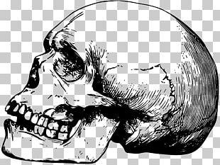 Skull Drawing Human Skeleton Bone PNG