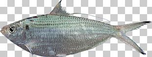 Sardine Fish Products Milkfish Herring PNG