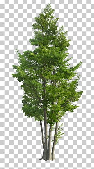 Ilex Rotunda Tree Landscape Garden Green PNG