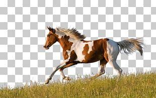 American Paint Horse American Quarter Horse Friesian Horse Appaloosa Pinto Horse PNG