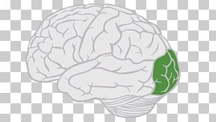 Lobes Of The Brain Frontal Lobe Parietal Lobe PNG