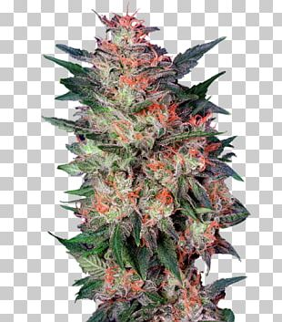 White Widow Cannabis Sativa Grow Shop Seed PNG