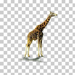 Northern Giraffe Computer File PNG