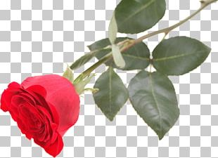 Centifolia Roses Rosa Chinensis Beach Rose Red Flower PNG