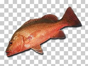 Northern Red Snapper Fish Products 09777 Tilapia Barramundi PNG
