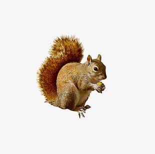 Animals Squirrel PNG