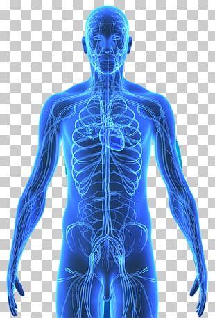 Human Body Human Skeleton Circulatory System Organ Patient PNG