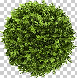 Shrub Stock Photography Buxus Sempervirens Tree PNG