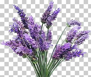 English Lavender French Lavender Flowering Plant Lamiaceae PNG