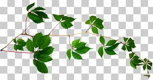 Vine Plant Stem Leaf Tree PNG
