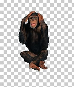 Primate Chimpanzee Gorilla Ape Monkey PNG