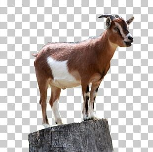 Boer Goat Caprinae Sheep Mountain Goat PNG